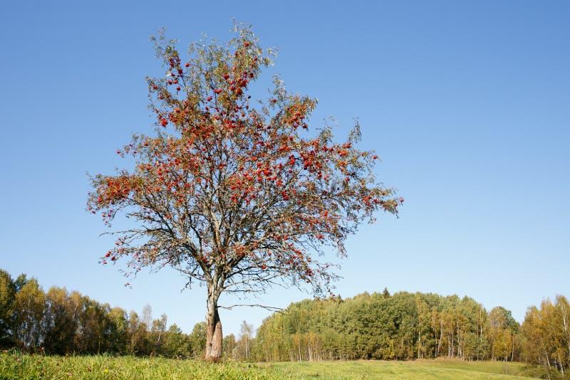 Singolo albero di sorba fotografie stock