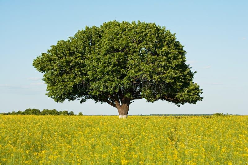 Singolo albero nel campo di canola, agricoltura, lanscape immagini stock