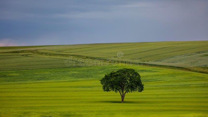 Singolo albero nel campo fotografie stock