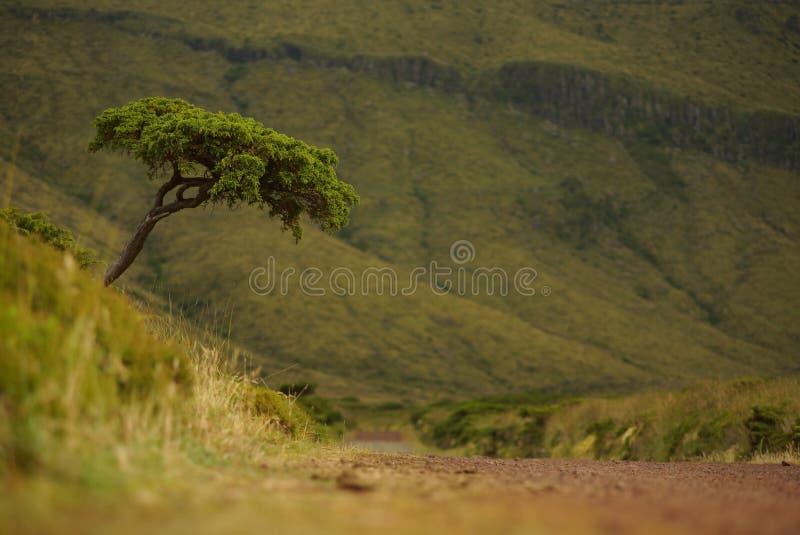 Singolo albero nel paesaggio di verde del Flores, Azzorre, Portogallo fotografia stock