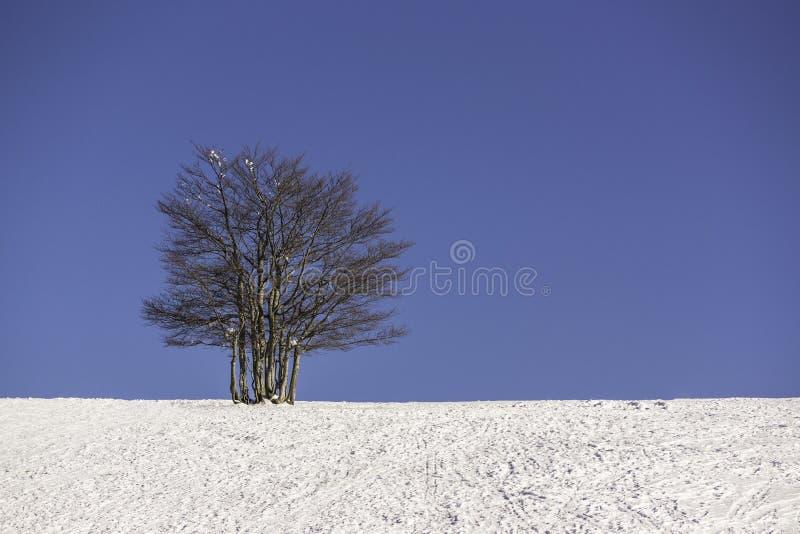 Singolo albero nell'inverno con cielo blu - orizzontale immagine stock libera da diritti