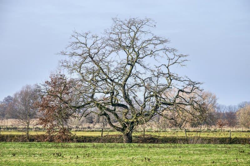Singolo albero nudo in un prato olandese immagine stock libera da diritti