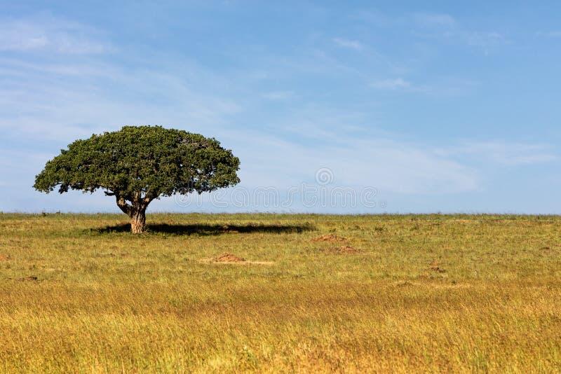 Singolo albero ombreggiato nel campo africano aperto immagini stock