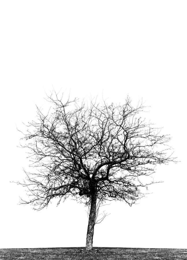 Singolo albero sfrondato del crabapple fotografie stock