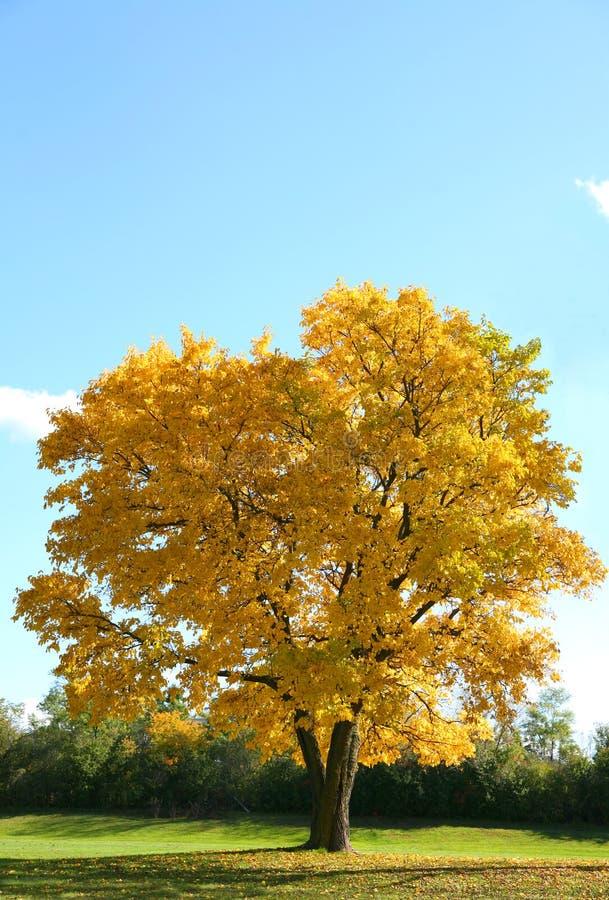 Singolo albero in sosta esterna fotografie stock libere da diritti