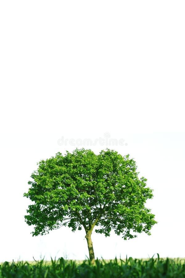 Singolo albero su priorità bassa bianca fotografia stock