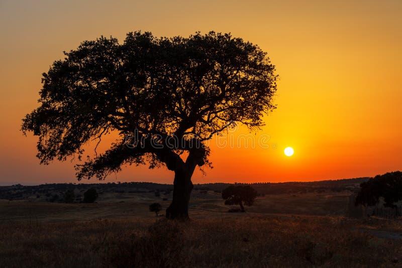 Singolo albero in un giacimento di grano su un fondo del tramonto fotografie stock