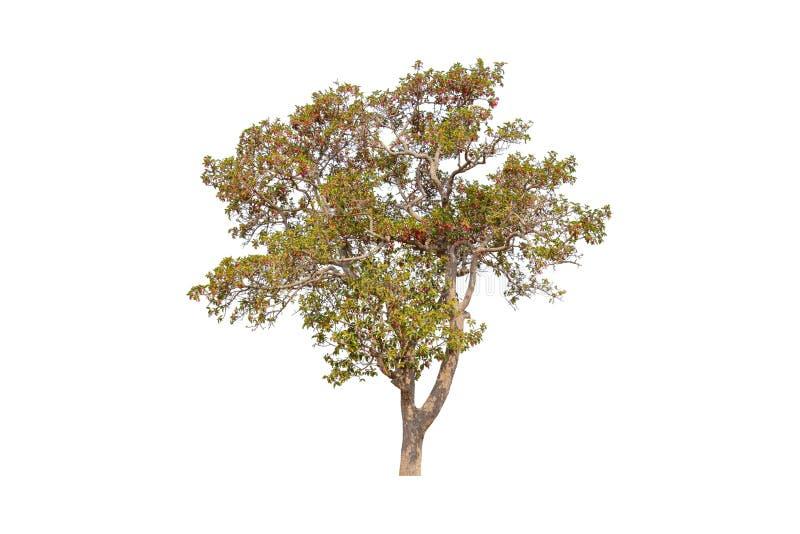 Singolo albero variopinto isolato con il percorso di ritaglio su fondo bianco fotografia stock libera da diritti