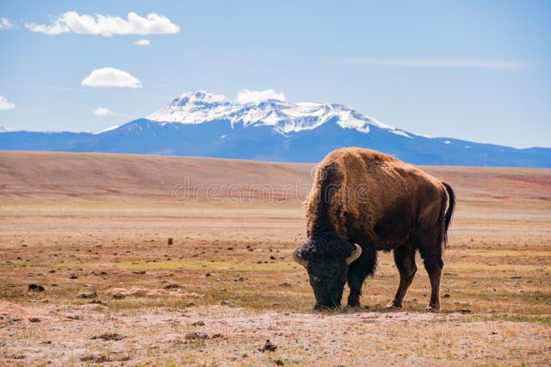 Singolo bisonte che mangia erba sul campo, con la montagna nevosa come b fotografia stock libera da diritti