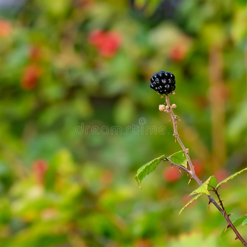Singolo Blackberry nel mio Front Garden fotografie stock libere da diritti