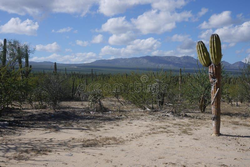 Singolo cactus a forma di divertente con la vista delle montagne immagine stock