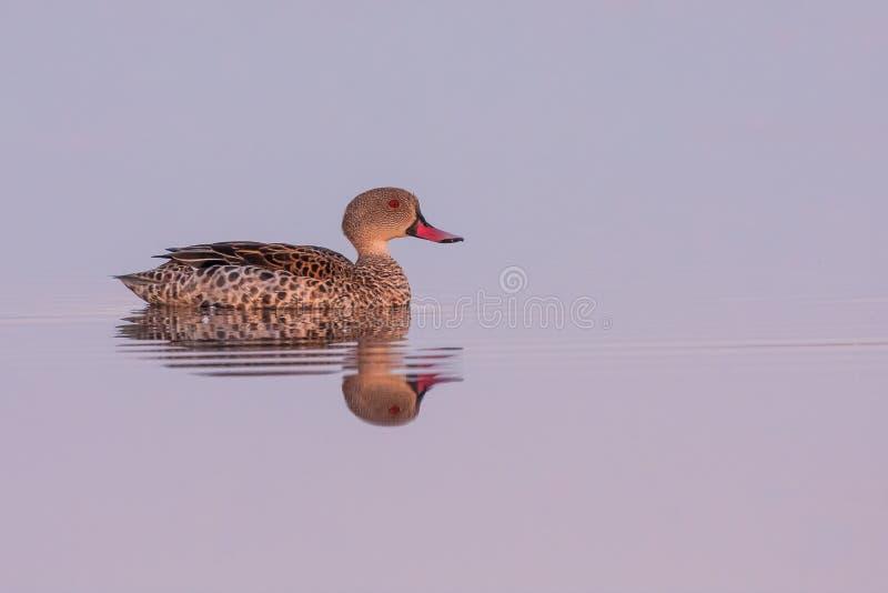 Singolo capo Teal sul lago fotografie stock