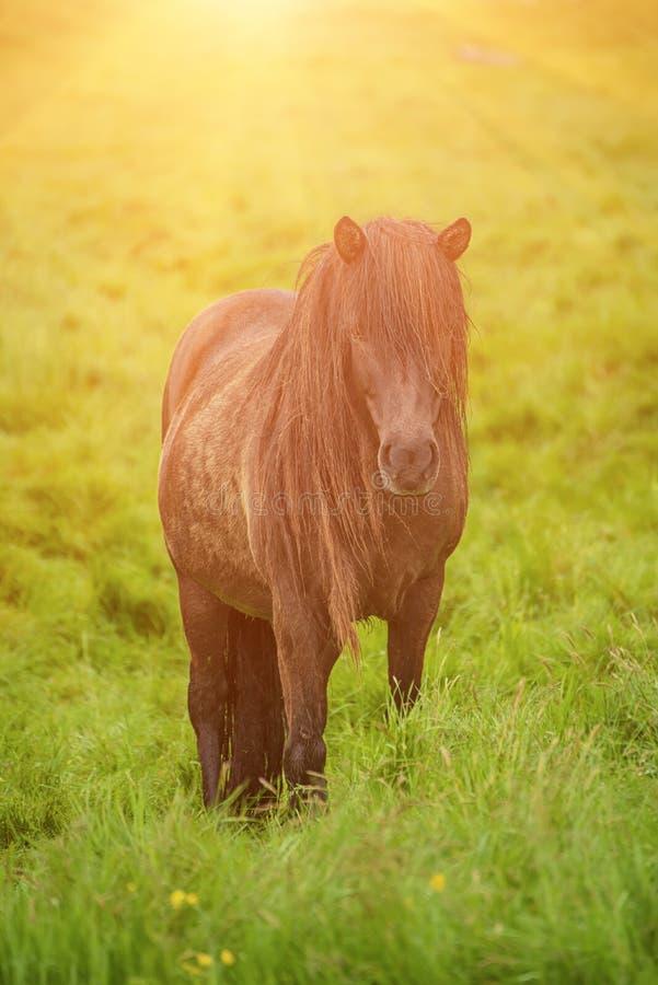 Singolo cavallo islandese immagine stock