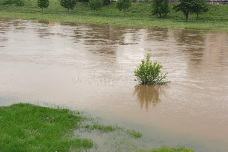 Singolo cespuglio sommerso in fiume sommerso, acqua marrone fangosa fotografie stock libere da diritti