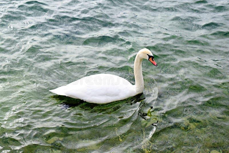 Singolo cigno che nuota sul lago fotografie stock