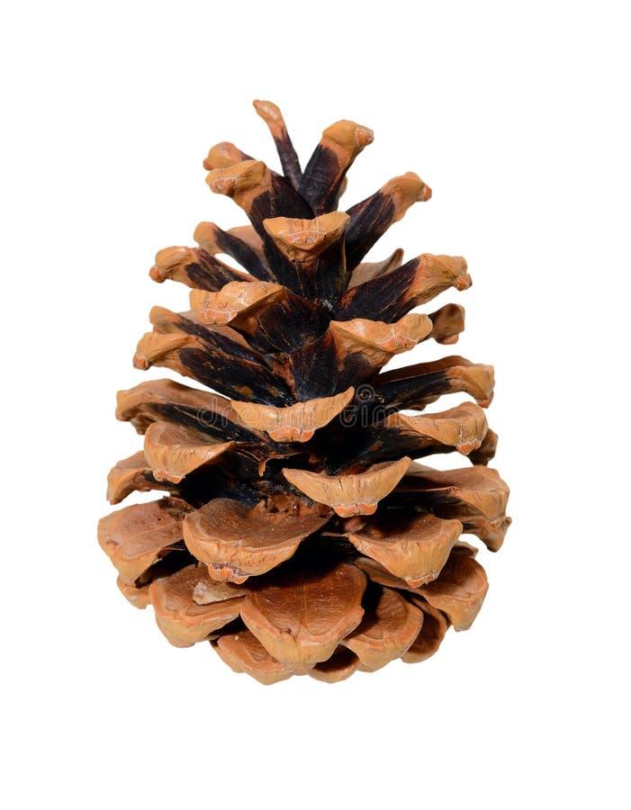 Singolo cono del pino immagine stock