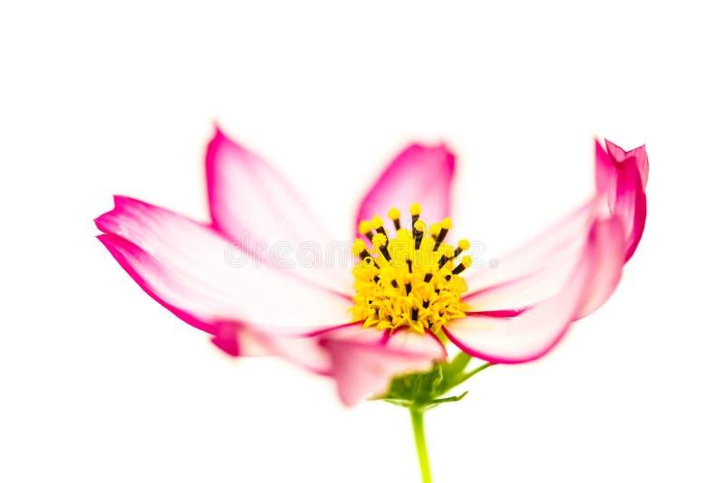 """Singolo cosmos bipinnatus rosso-chiaro e rosa del  di Flower†dell'universo del """"Wild del fiore selvaggio che fiorisce durant immagini stock"""