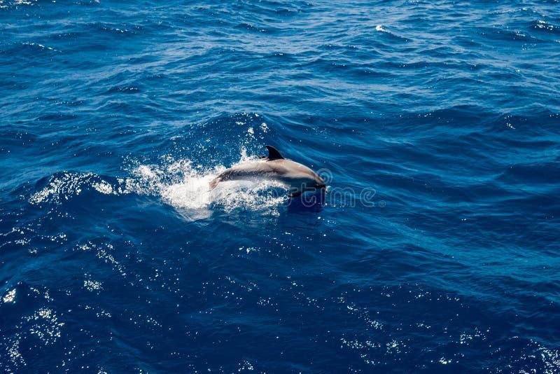 Singolo delfino grigio che salta sulle onde in acque blu profonde dell'Oceano Atlantico fuori dalla costa dell'isola di Gran Cana fotografia stock