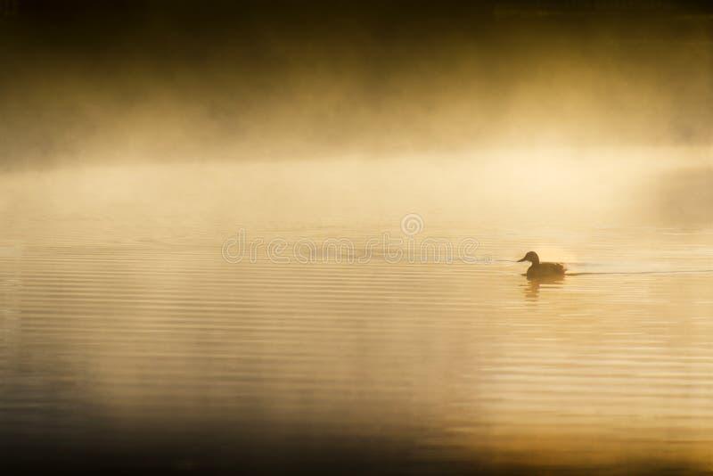 Singolo Duck Swims Quietly At Sunrise solitario sul lago Mistly immagini stock libere da diritti