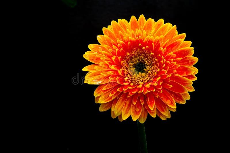 Singolo fiore arancio della gerbera isolato su fondo fotografie stock libere da diritti