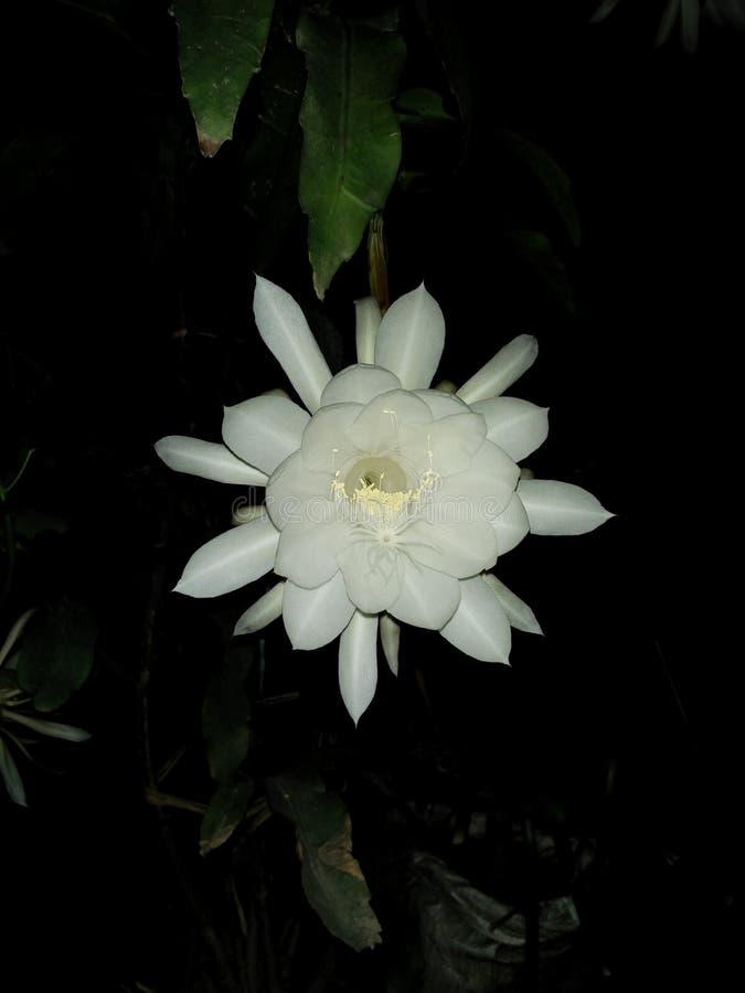 Singolo fiore bianco fotografia stock
