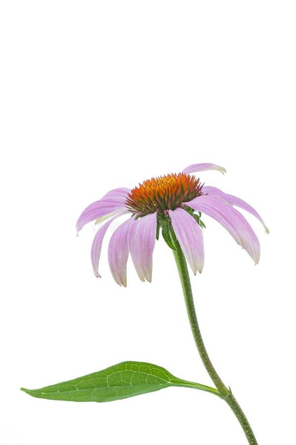 Singolo fiore del echinacea fotografia stock libera da diritti