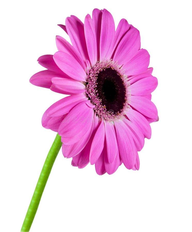 Singolo fiore del gerbera immagini stock libere da diritti