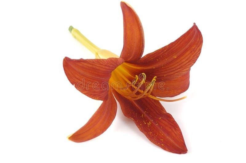 Singolo fiore del giglio fotografia stock