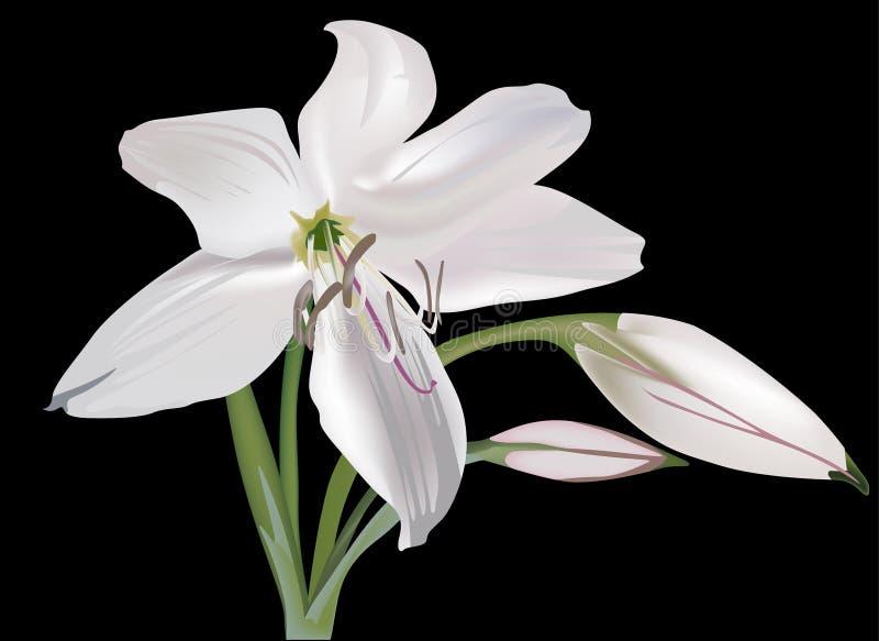Singolo fiore del giglio bianco isolato sul nero illustrazione vettoriale
