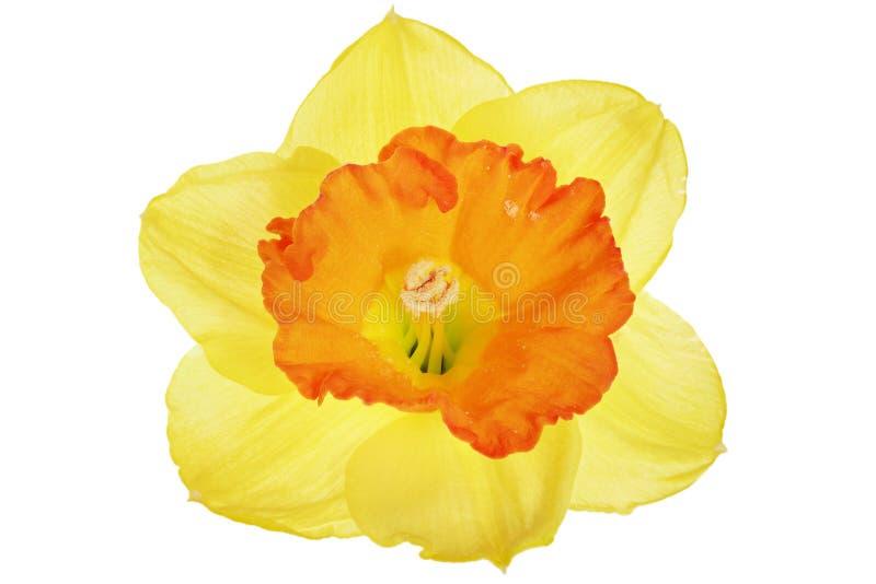 Singolo fiore della bella molla: narciso arancio (narciso) fotografia stock libera da diritti