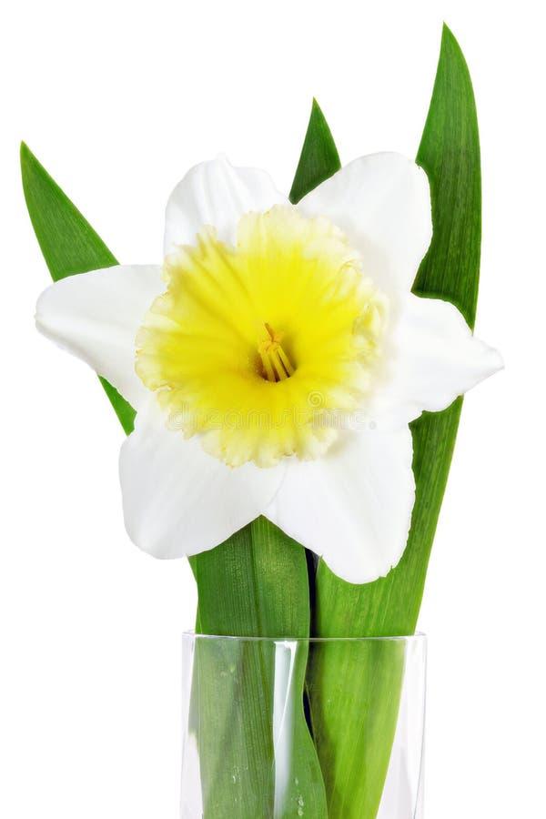 Singolo fiore della bella molla: narciso bianco gialla (narciso fotografia stock
