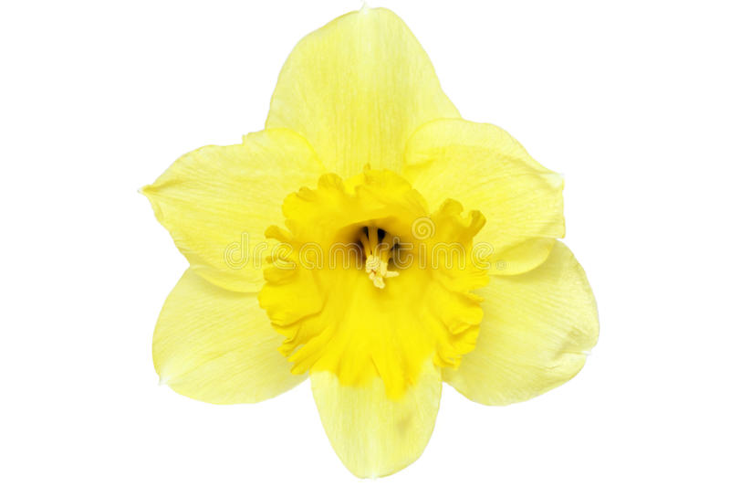 Singolo fiore della bella molla: narciso giallo (narciso) fotografia stock