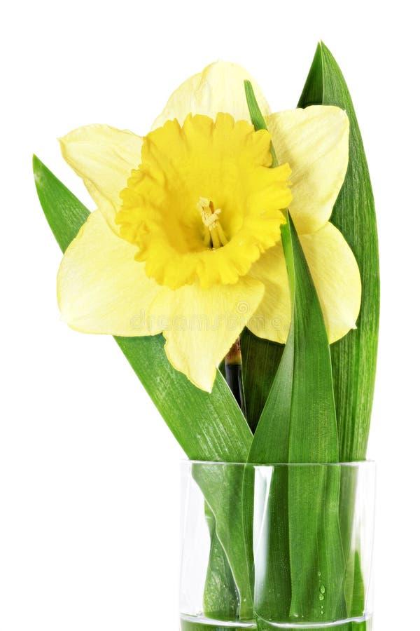 Singolo fiore della bella molla: narciso giallo (narciso) fotografie stock