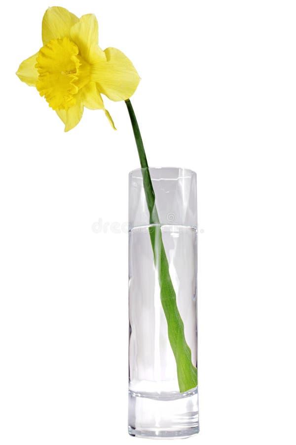 Singolo fiore della bella molla: narciso giallo (narciso) fotografie stock libere da diritti