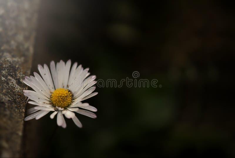 singolo fiore della margherita sotto il bordo di pietra stagionato nell'umore leggero premuroso scuro fotografie stock