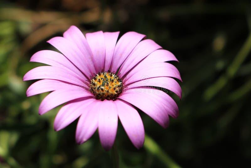 Singolo fiore porpora scuro fotografia stock libera da diritti