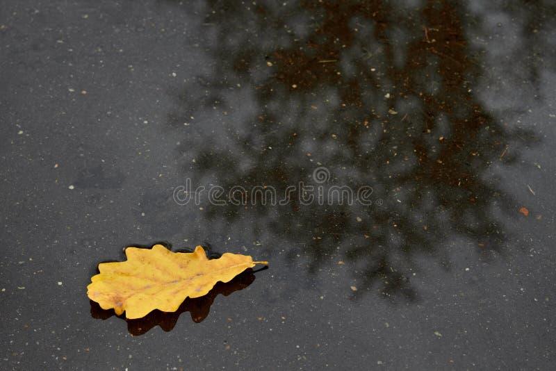 Singolo foglio della quercia nel raggruppamento fotografia stock