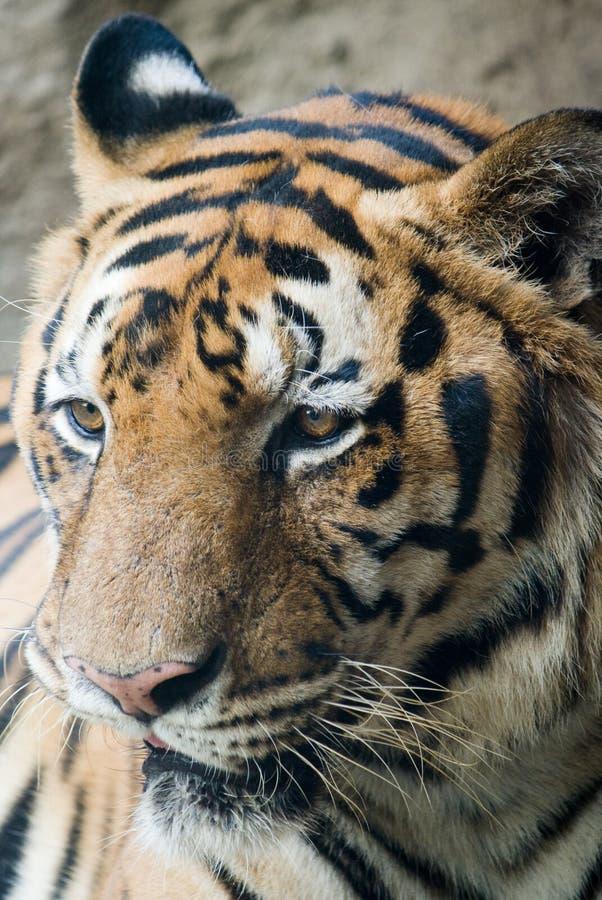 Singolo fronte della tigre di Bengala fotografia stock libera da diritti