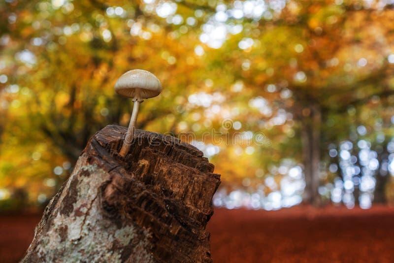 Singolo fungo sopra il tronco di albero nella foresta arancio di autunno immagini stock libere da diritti