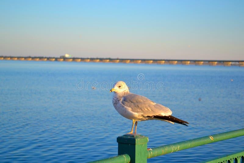 Singolo gabbiano che monta la guardia sopra il fiume immagini stock libere da diritti