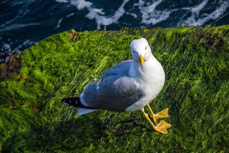Singolo gabbiano trovato sulla riva del mare fotografia stock