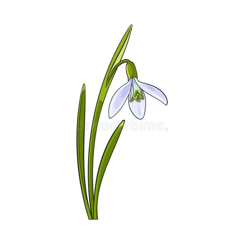 Singolo galanthus, fiore della molla di bucaneve con il gambo e foglie illustrazione di stock