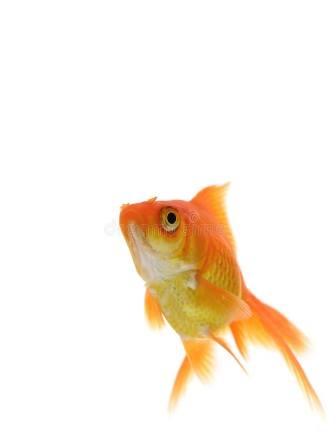Singolo goldfish immagine stock
