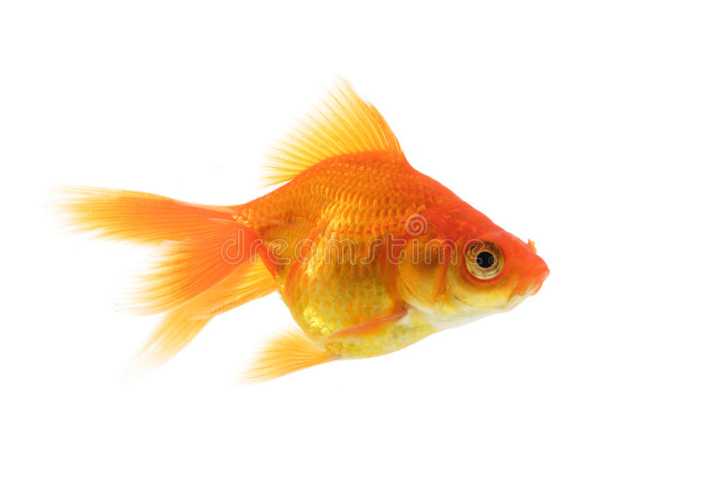 Singolo goldfish fotografia stock