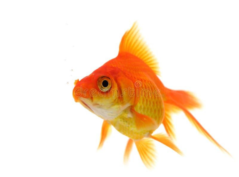 Singolo goldfish immagine stock libera da diritti