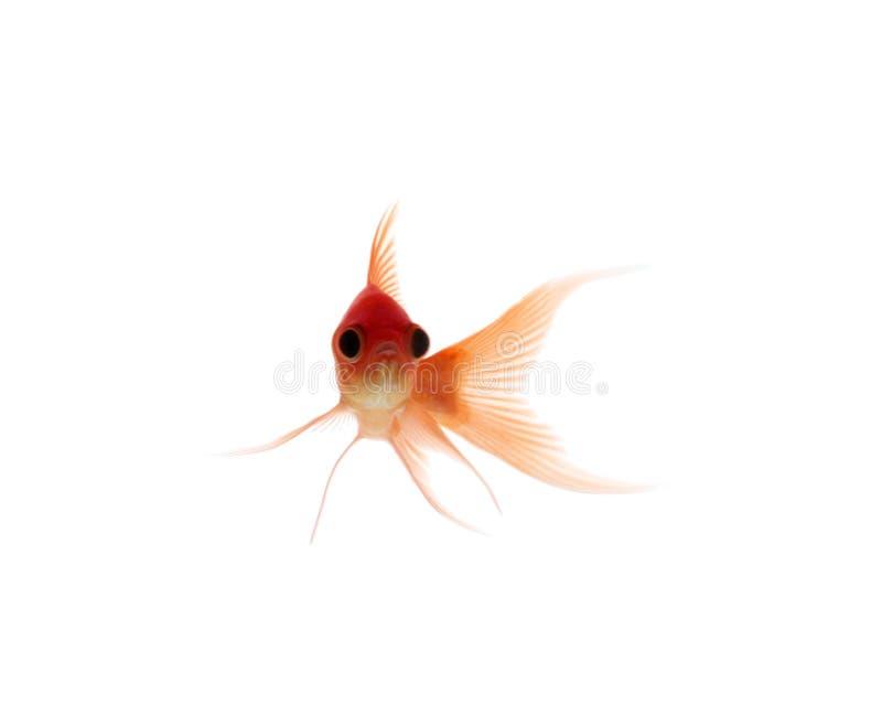 Singolo goldfish fotografie stock libere da diritti