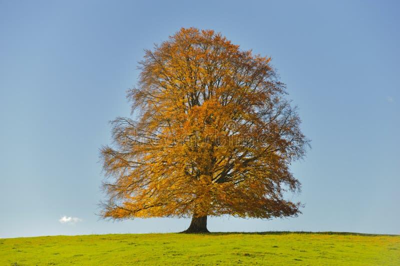 Singolo grande albero di faggio fotografie stock