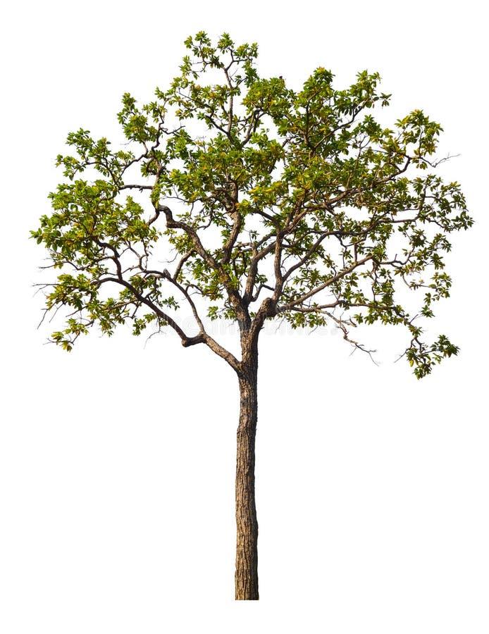 Singolo grande albero isolato su fondo bianco immagine stock libera da diritti