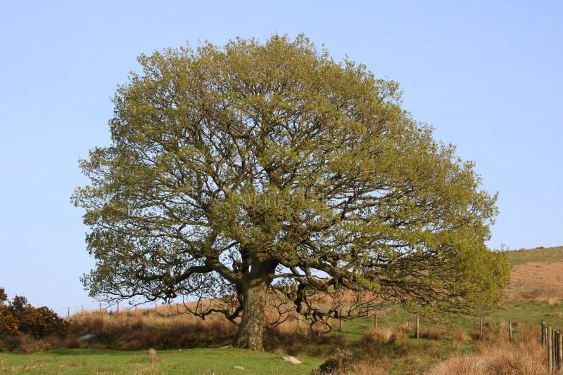 Singolo grande albero, pendio di collina Nuove foglie in primavera fotografie stock libere da diritti