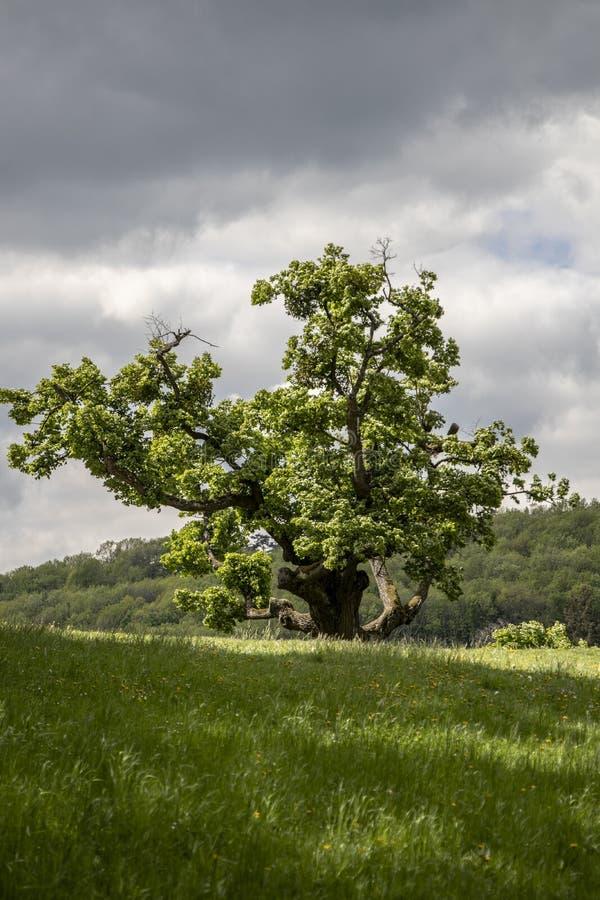 Singolo grande Linden Tree anziano con il fondo drammatico del cielo immagini stock libere da diritti